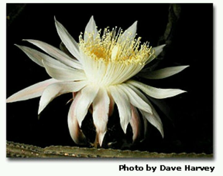 Night blooming cyreus flowers bulbs pinterest for A flower that only blooms at night