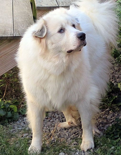 GREAT PRYNESS DOG PHOTO | Great Pyrenees | virtualfluffies | Page 2