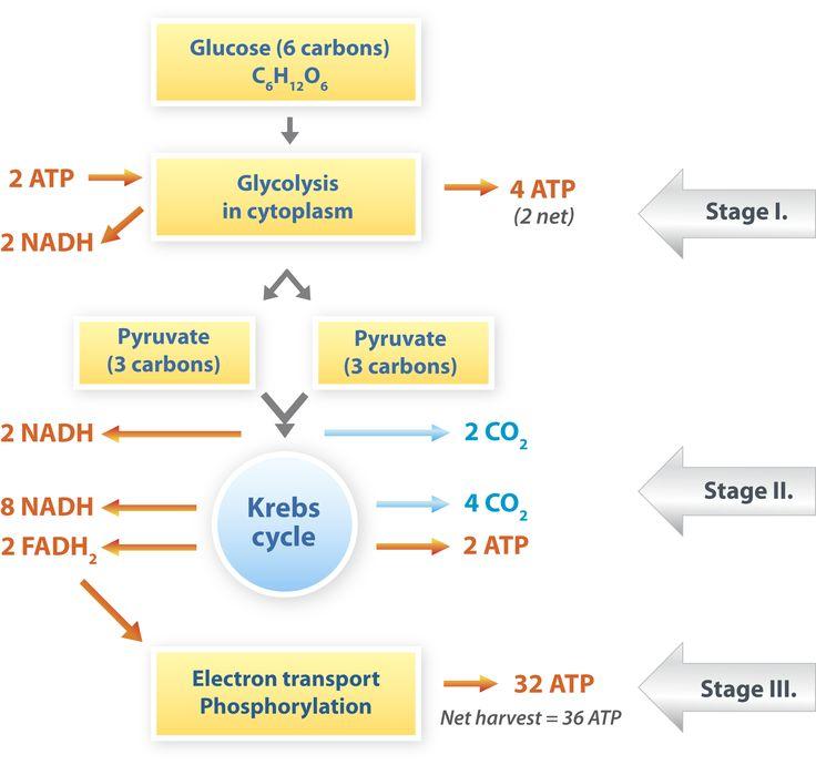 Cellular Respiration : Respiratory System : Pinterest