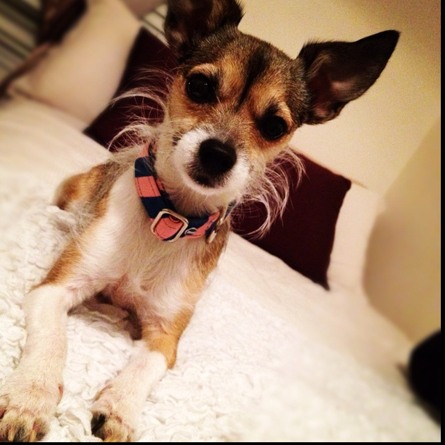 Long Haired Jack Russell Terrier Chihuahua Mix