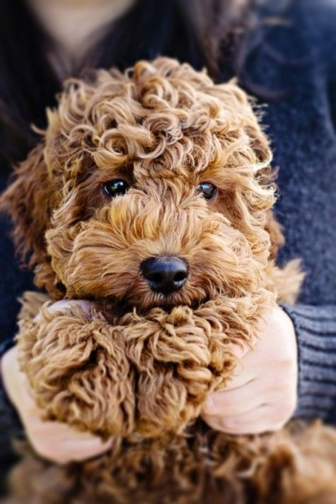 Labradoodle... I want one!