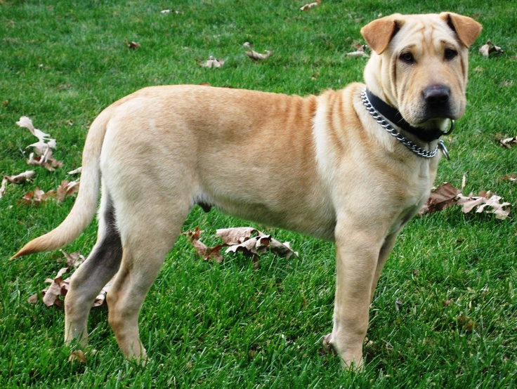 Jake my Shar Pei/Lab mix. | Pets/Animals | Pinterest