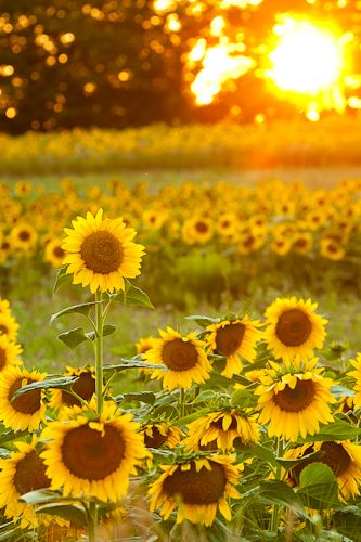 ☼ Sunflower Fields, Traverse City