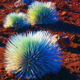 The endangered Silversword {Indigenous only to Mount Haleakala in Maui}