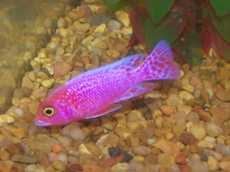 Green Peacock Cichlid