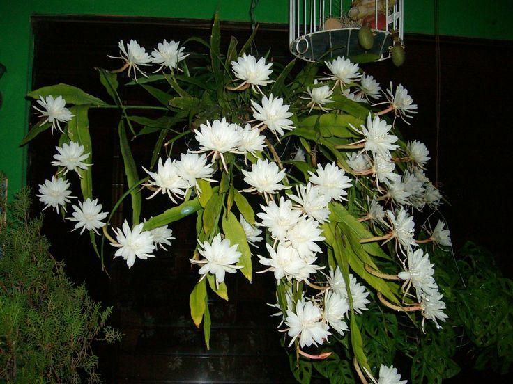 Galan de noche gardening pinterest for Galan de noche conforama