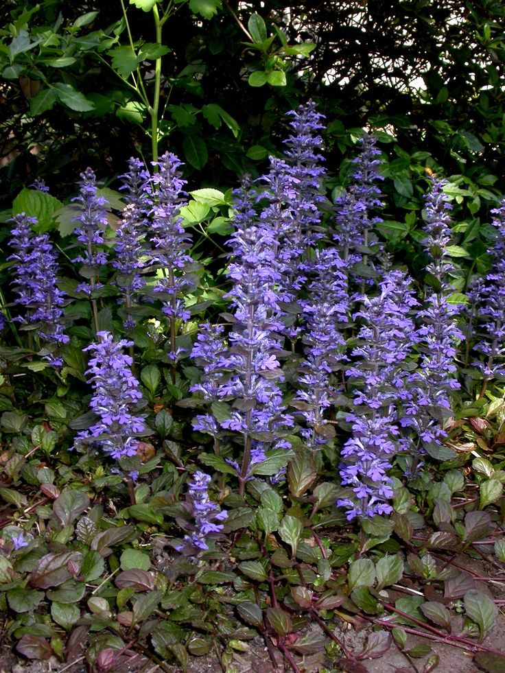 Ajuga reptans landscaping plants 39 ground cover 39 pinterest for Perennial ground cover plants for sun