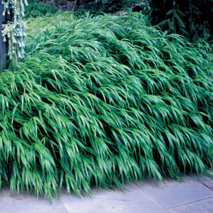 Japanese forest grass plant gardening pinterest for Oriental grass plants