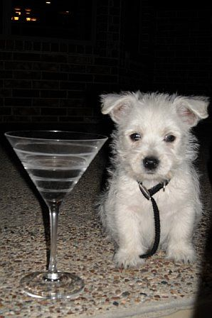 Tiny westie puppy.