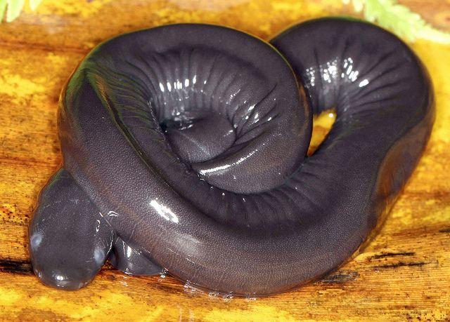 Cayenne Aquatic Caecilian (Typhlonectes compressicauda) Flickr ...