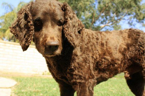 American Water Spaniel - Pictures, posters, news and ... American Water Spaniel Dogtime