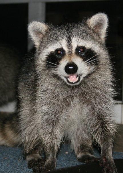 Raccoon T Raccoon smile :^) | Do...
