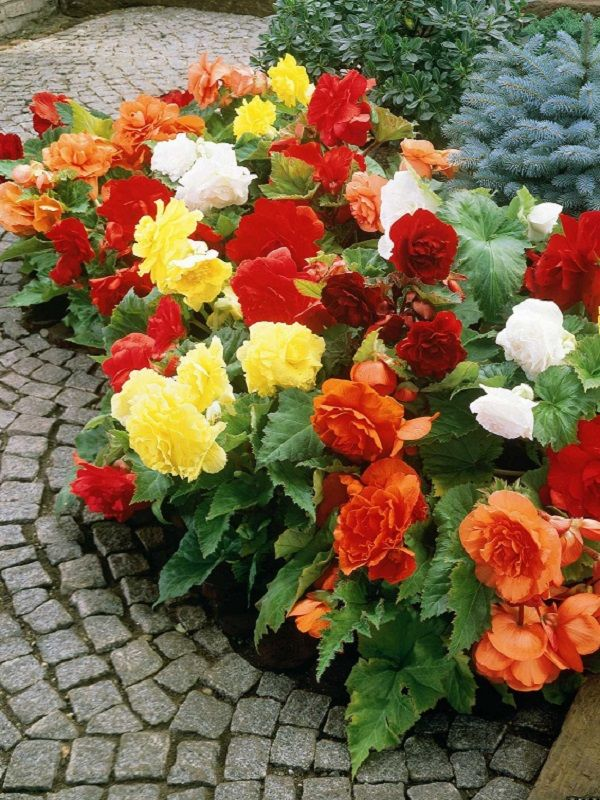 Shade loving colorful flowers begonia garden pinterest - Shade tolerant flowers ...