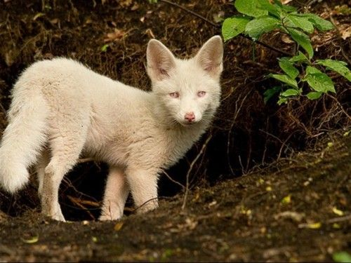 Rylai the white marble fox cub thinks she's a dog | Daily ...