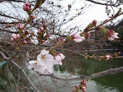 臥竜公園・桜開花状況 4/6(咲きはじめ) 臥竜公園・桜開花状況 4/6(咲きはじめ) | Sa