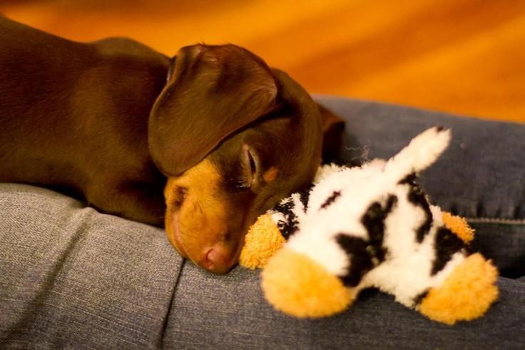 Baby Weenie Dogs http://www.pinterest.com/pin/26036504067559849/