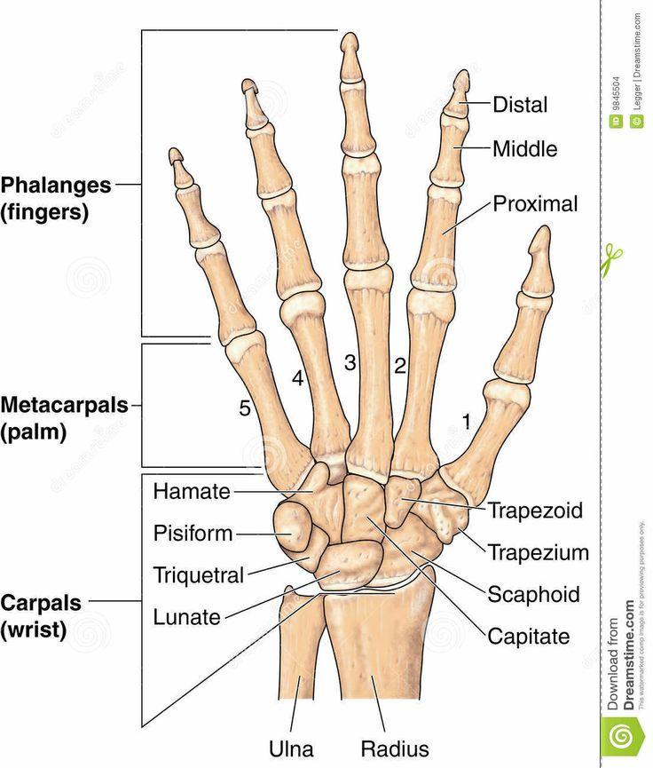 Anatomy of the hand and wrist