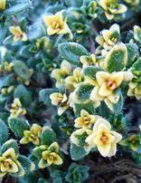Falls Thyme (Thymus seraphyllum) A tightly ground hugging thyme ...