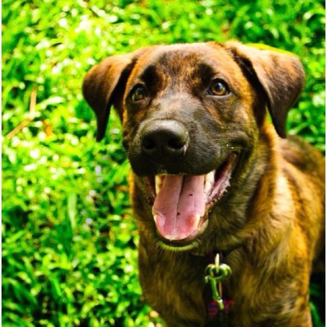 Brindle Labrador Dog http://pinterest.com/pin/209417451393223983/