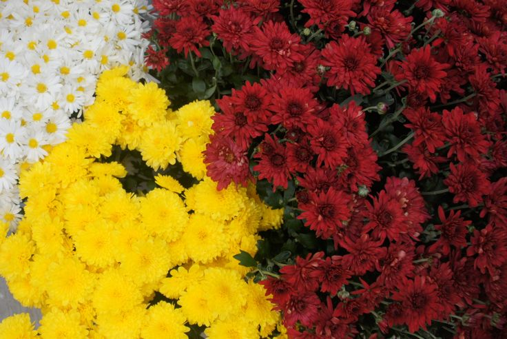 Assorted Mums Add Great Fall Color Perennials
