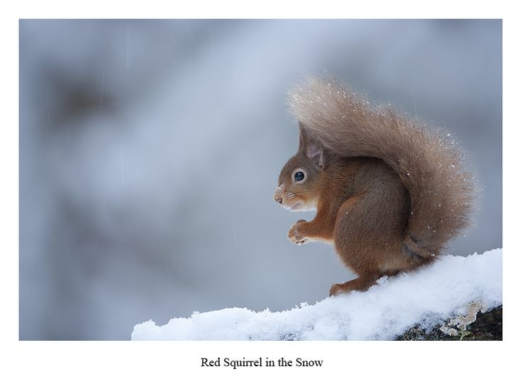 Red Squirrel Images Paintings For Mountain Cottage