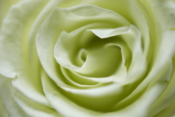 Light Green Roses Light Green Rose   col...