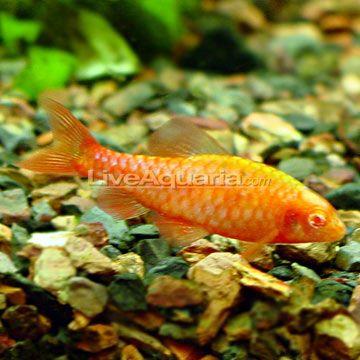 Albino cherry barb tropical fish pinterest for Cherry barb fish