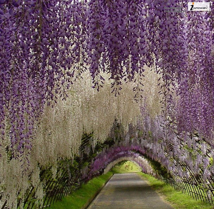 Walk through a tunnel of flowers. Wisteria Tunnel, Japan.