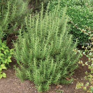 Rosemary. Smells fabulous! Also great for distinct flavor in cooking!