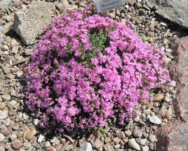 Ground cover perennials 28 images perennials forum for Perennial ground cover plants for sun
