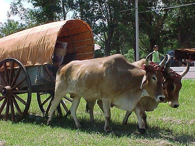 Cow Pulling Wagon : Ox pulling a wagon cattle pinterest