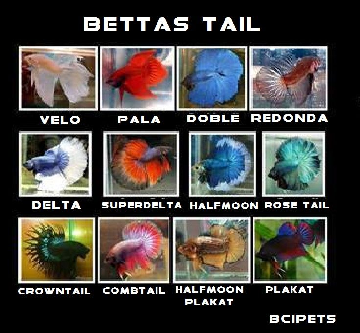Fighter fish types - photo#26