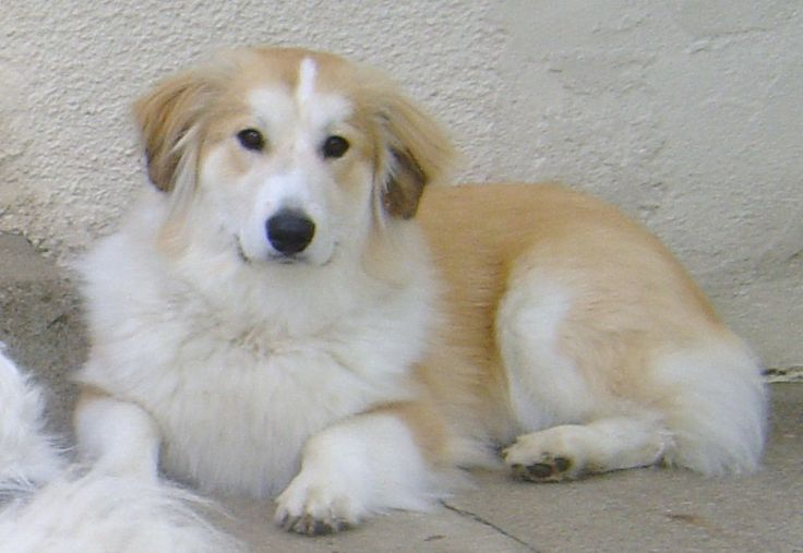 Great Pyrenees Corgi mix | Morgi (mixed with Corgi ...