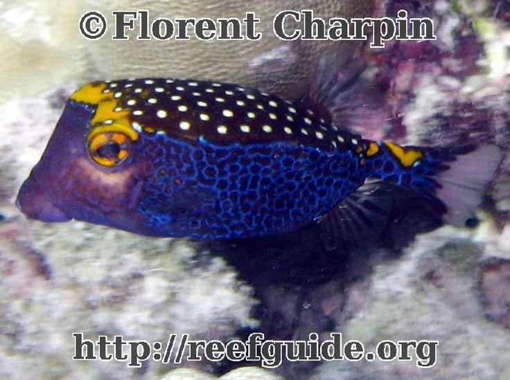 Spotted Boxfish, Maui