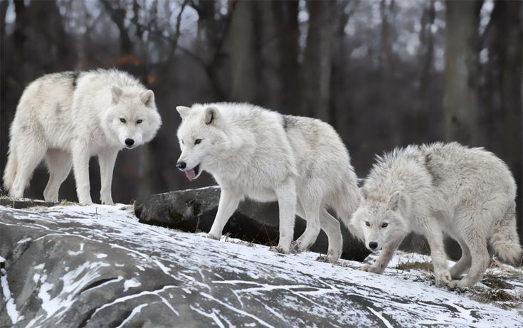 White Wolf Pack...