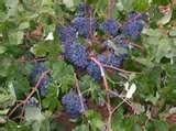030 – La Bobal es una cepa española que se utiliza principalmente para vinos ...  (A) – Blancos  (B) – Rosados  (C) – Tintos