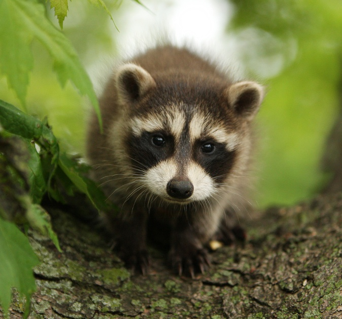 Last night, I witnessed a mama raccoon carry her three baby raccoons down my backyard staircase. They were tiny. It was just as adorable as you imagine it.