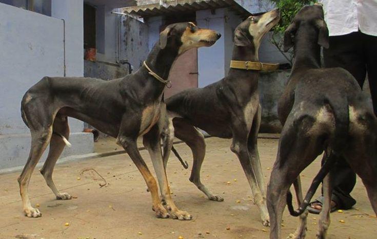 Kanni #Dogs   Mudhol Hound / Hortaya Borzaya / Galgo Español / Chart ...