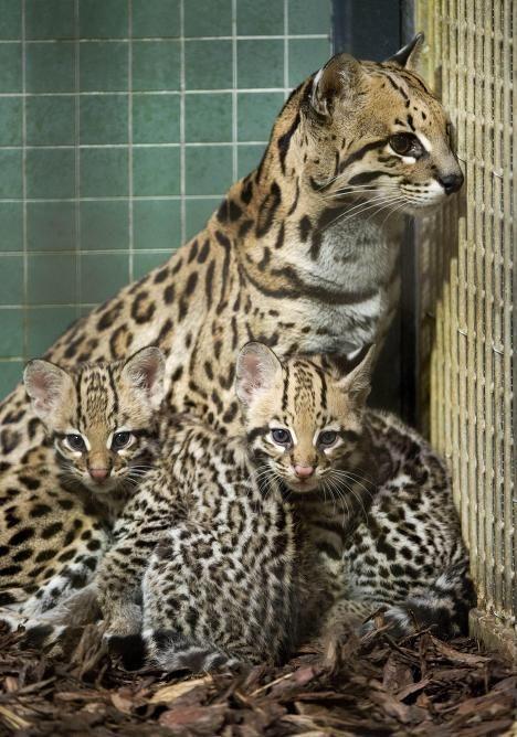 Wild ocelot kittens - photo#20