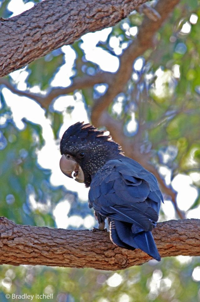 """Female Red Tailed Black Cockatoo"""