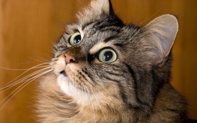 Short hair maine coon cat | Dollhouse | Pinterest
