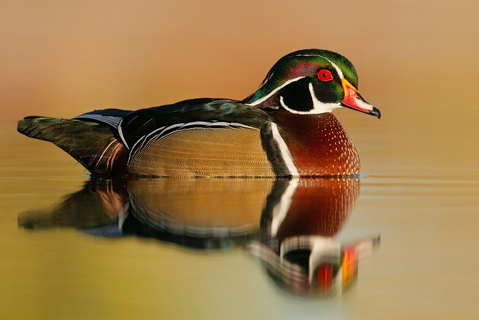 how to clean a wood duck