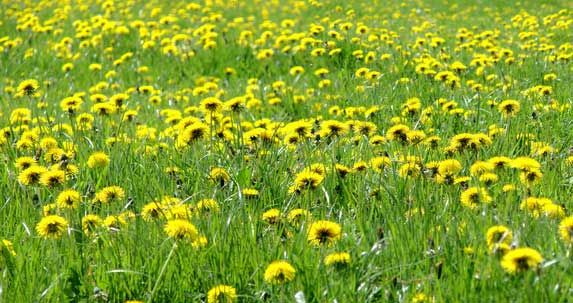 Edible flowers. Yard full of dandelions? Harvest and cook these weeds to enjoy their many health benefits.