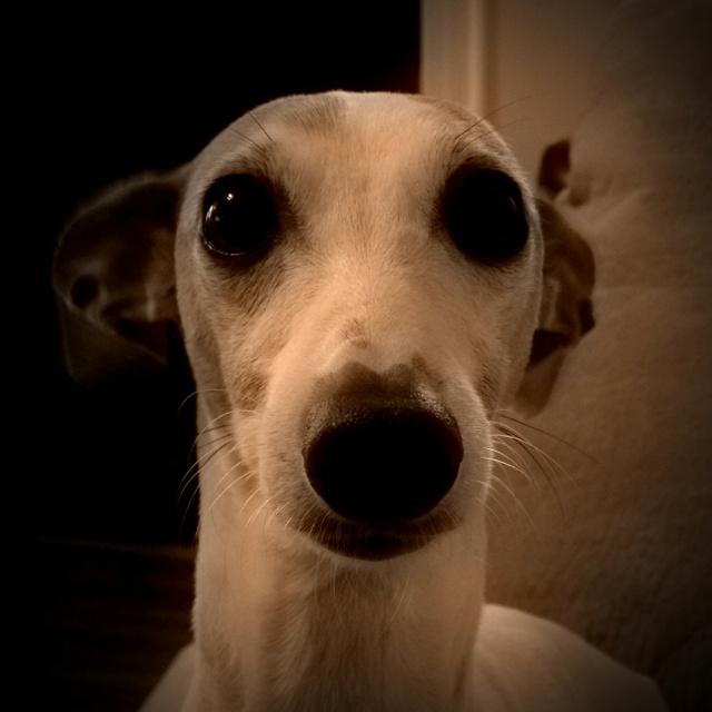 italian greyhound chihuahua - photo #9