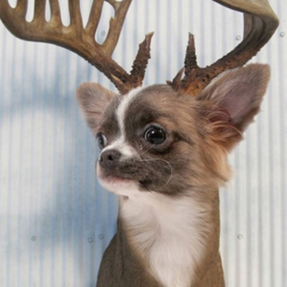 Deer chihuahua | Chihuahuas and Other Cute Critters ...
