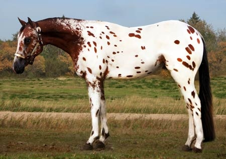 Bay Appaloosa | Equestrian | Pinterest