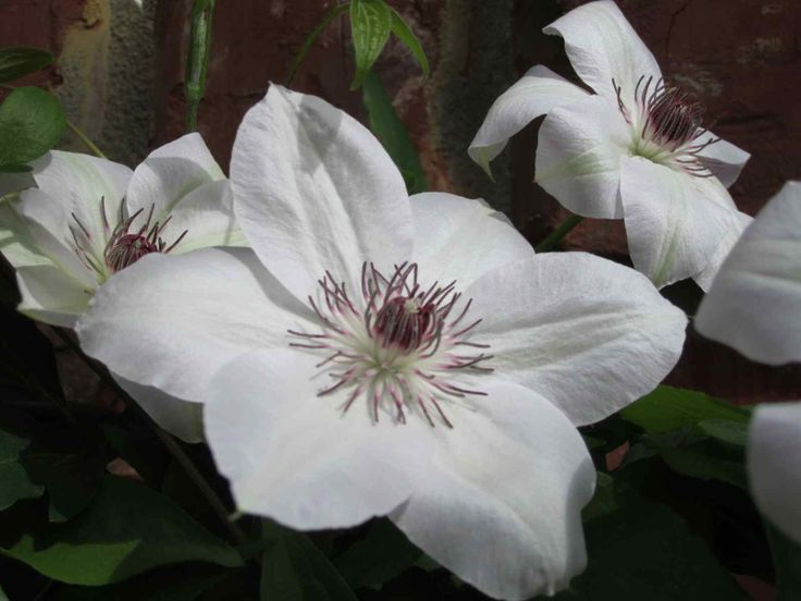 pruning a miss bateman clematis. Black Bedroom Furniture Sets. Home Design Ideas