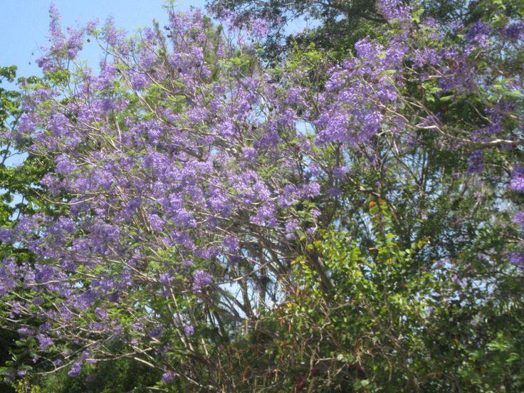 JACARANDA | SOUTH FLORIDA FLOWERS AND NATIVE PLANTS ...