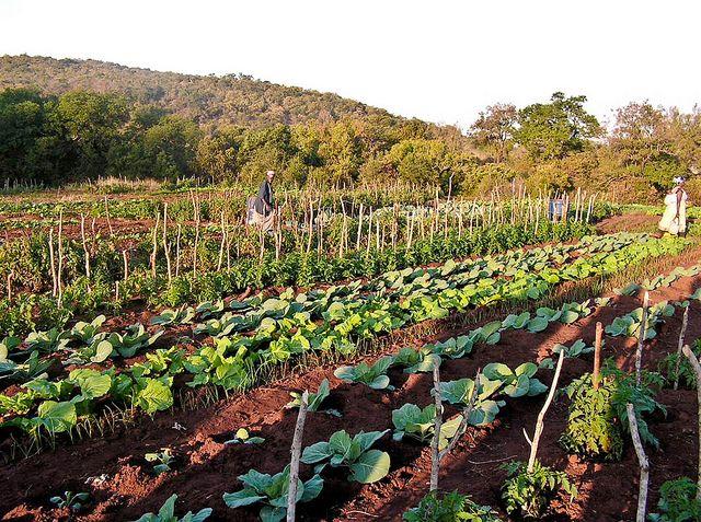 People tend to their community vegetable Gardening