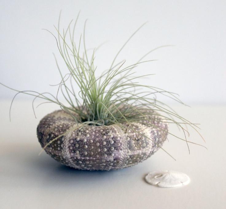 Nicholi // air plant tillandsia terrarium